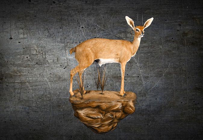 Mounted Steenbok